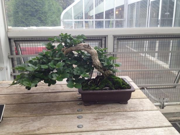new_york-brooklyn_botanic_bonsai