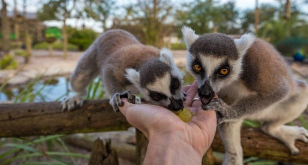 florida_safari_wilderness_lemures